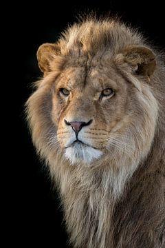 Porträt eines Löwen von Tazi Brown