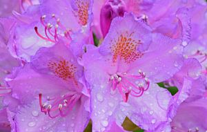 Pink flowers van
