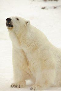 Porträt einer Polarbestie. Nahaufnahme. Schöner und zufriedener arktischer Eisbär im Winter gegen de