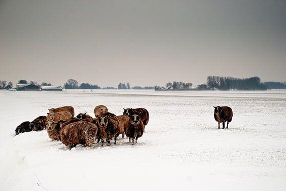 Schapen in winterse wei van Tammo Strijker