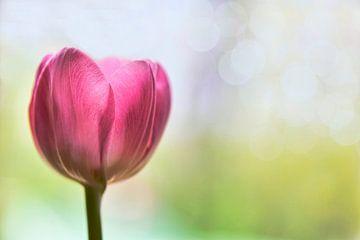 Tulpe von Jeannette Penris