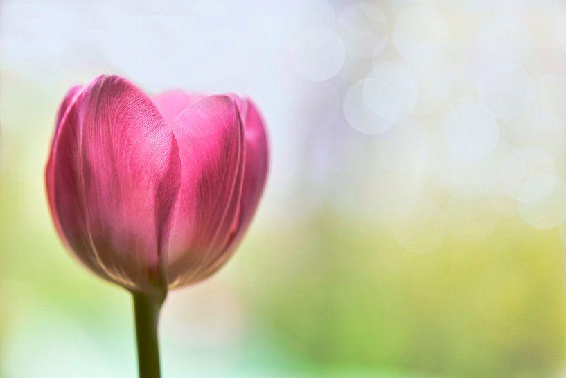 Tulp van Jeannette Penris