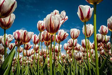 Champ de tulipes en fleur sur