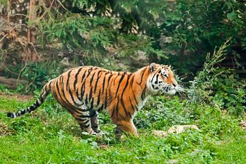Gezieltes Laufen. Junger schöner Tiger springt geschickt auf grünes Gras, ein Tier im Sprung auf dem von Michael Semenov