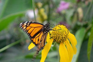 Oranje Monarchvlinder op gele bloem van Matani Foto
