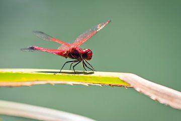 Purperlibel Madagaskar  van Dennis van de Water