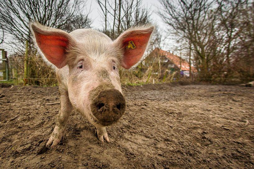 EKO-scharrelvarken #1 van Michiel Leegerstee