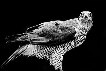 Falke von Sam Mannaerts Natuurfotografie