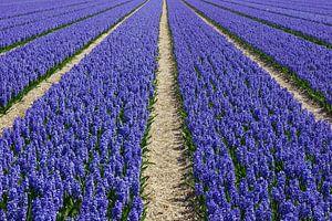 Bollenveld met paarse hyacinten