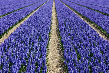 Bollenveld met paarse hyacinten van Michel van Kooten