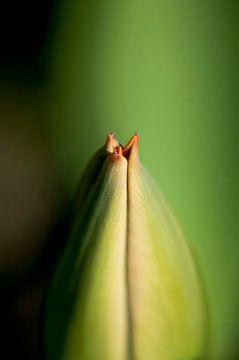 Tulp Close Up van Alex Hiemstra