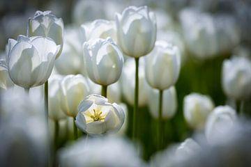 Witte tulpen in een bollenveld sur Karin de Jonge