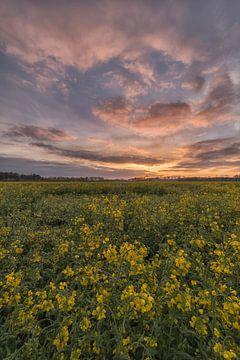 Sonnenaufgang am Rapsfeld von Moetwil en van Dijk - Fotografie
