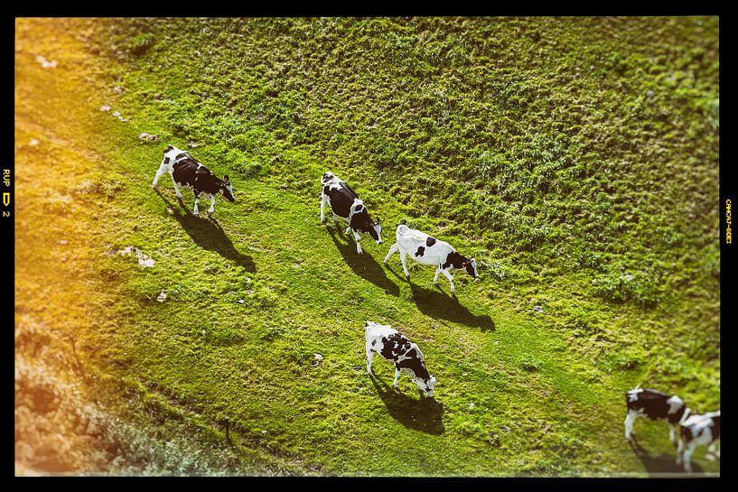 Koeien van Joep Oomen