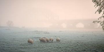 Grazende schapen bij koude mistige zonsopkomst van Jenco van Zalk