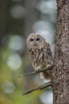 Tawny Owl  ( Strix aluco ) van