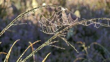 Spinnennetz Und Tau von Daphne Photography