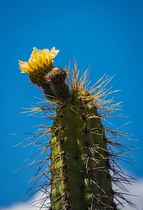 Geel bloeiende cactus in de woestijn