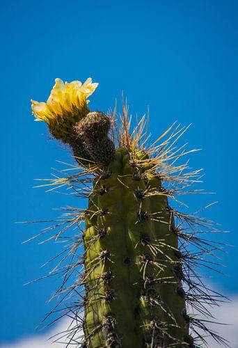 Geel bloeiende grote cactus in de woestijn