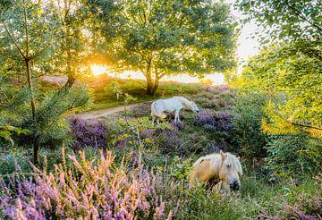 Wilde paarden op de Veluwe van Dave Verstappen