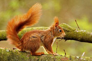 Rode eekhoorn in een boom van Paul Wendels
