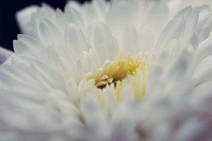 Witte bloem van Bart van Woudenberg