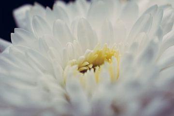 Witte bloem von