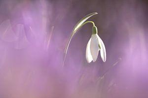 Sneeuwklokje in een lila wolk