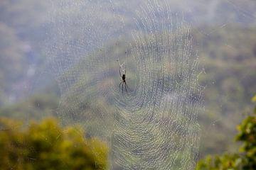 Spinne im Kuranda-Regenwald, Australien von Kees van Dun