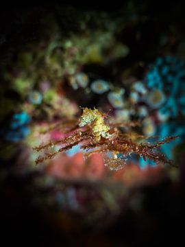 hippocampe macro 5 mm sur Marc Van den Broeck