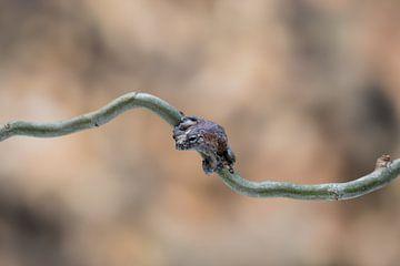 Brown frog von Joyce Beukenex