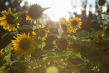 Zonnebloemen von Matthijs Damen