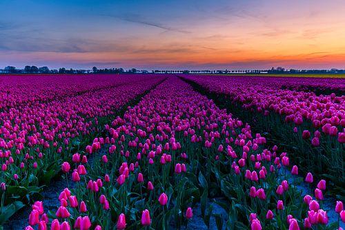 Tulpenvelden op Goeree-Overflakkee van Marcel Tuit