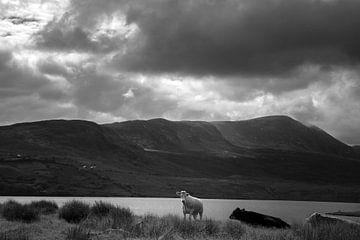 Kühe in Lough Feeagh von Bo Scheeringa