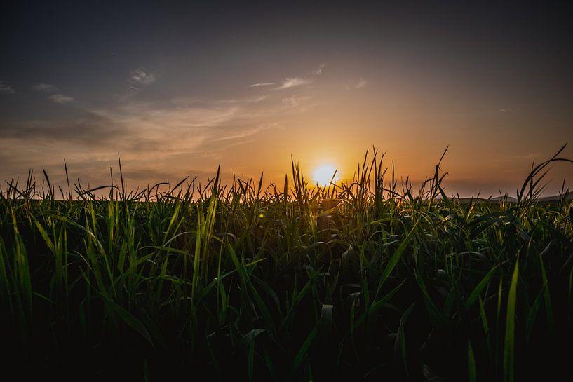 Zonsondergang in het groene gras van Koop je Canvas