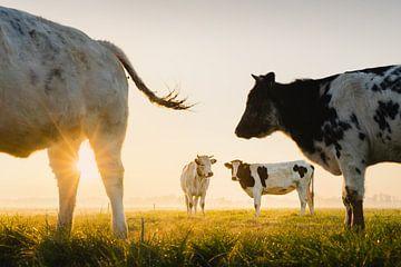 Holländische Kühe bei Sonnenaufgang   Tiere aus den Niederlanden   Landschaftsfotografie   Landwirte von Marijn Alons