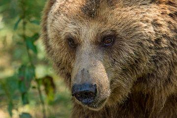 Kop van bruine beer van