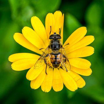 Schwebfliege auf einer Ringelblume von Joost Potma