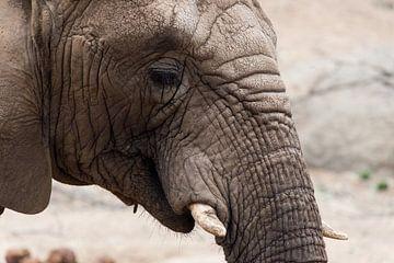 Afrikaanse olifant van Natasja Tollenaar