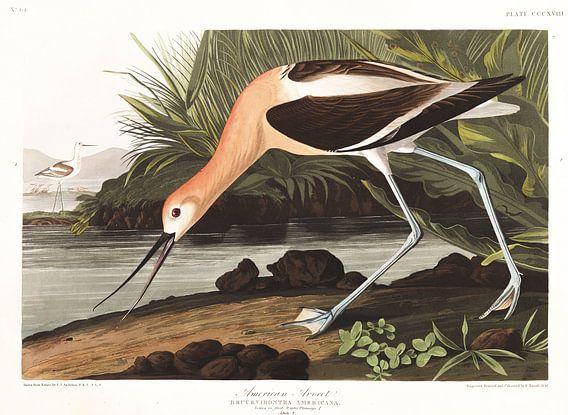 Amerikaanse Kluut van Birds of America