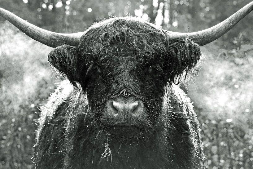 Ein Schottischer Highlander von Discover Dutch Nature