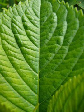 groenblad van daphne houtman