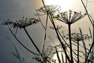 Morgentau bei nebligem Sonnenaufgang auf Bärenklauen mit Spinnweben von Trinet Uzun