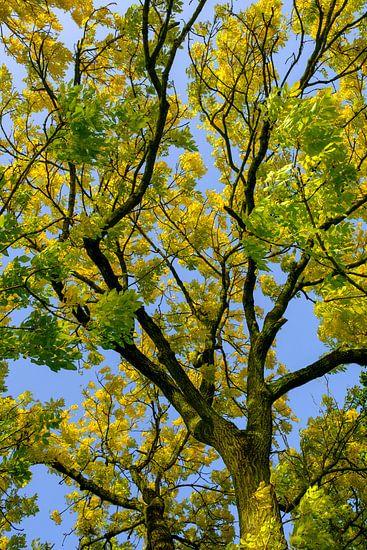 Takken met geel en goudkleurige bladeren van een Gouden Es in de herfst