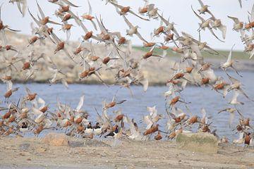 Uferschnepfe mit rotem Schwanz von Rinnie Wijnstra