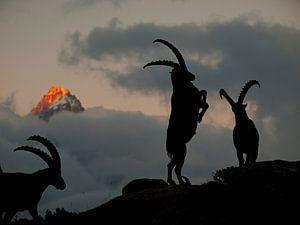Steenbokken in Chamonix van