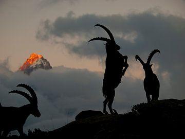 Steinböcke Chamonix von Menno Boermans