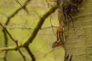 Siberische grondeekhoorn hangt ondersteboven in de boom van Paul Wendels