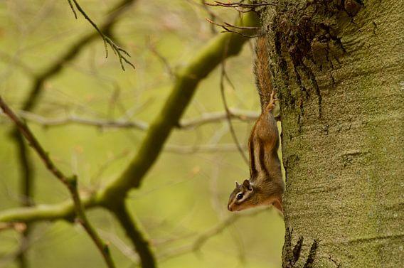 Siberische grondeekhoorn hangt ondersteboven in de boom