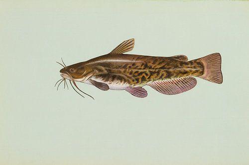 Bruine dwergmeerval (Brown bullhead fish) van